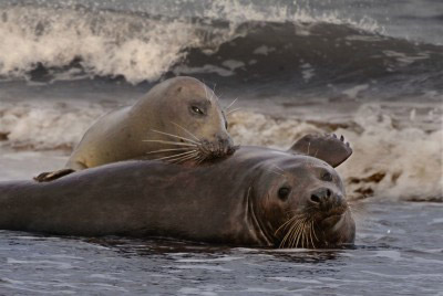 Sea lions in the Moray Firth, Scotland